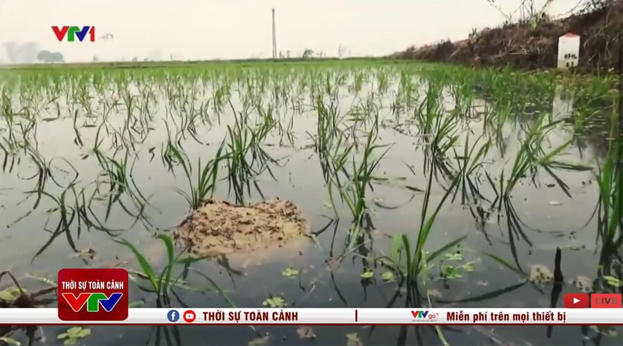 Nước thải sản xuất ô nhiễm chảy vào cánh đồng lúa
